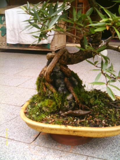 Ficus Nerifolia, Uma raiz de 3 anos... - Página 2 IMAG0093