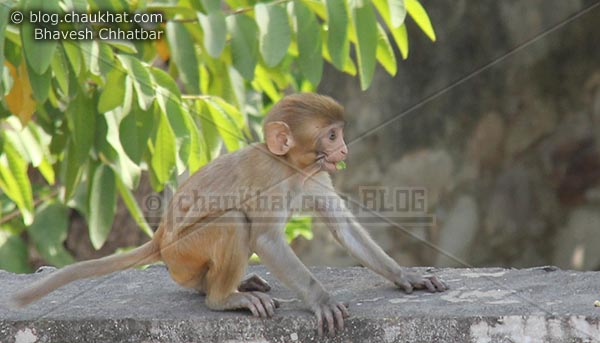 Monkeys of Jaipur - Foody monkey baby