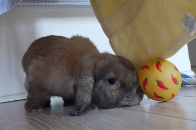 кролик толкает или подбрасывает зубами предметы