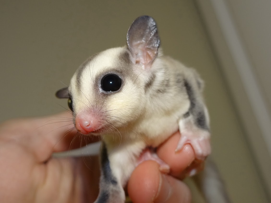 Iris - Female Platinum Sugar Glider