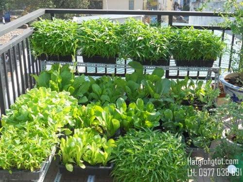 Hạt giống rau chất lượng là như thế nào
