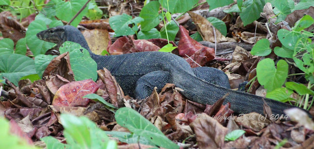 A larger Monitor Lizard we spotted at the end of our walk