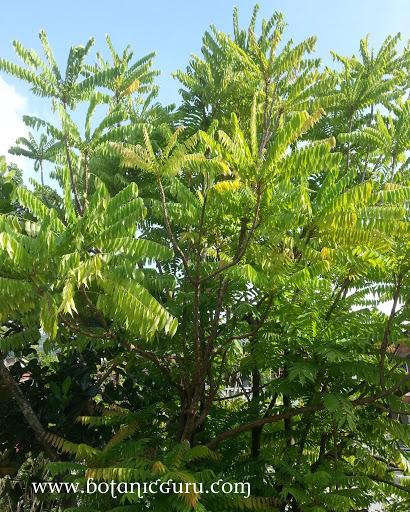 Averrhoa bilimbi tree