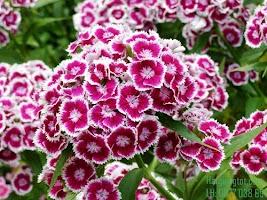 Kỹ thuật chăm sóc hoa cẩm chướng