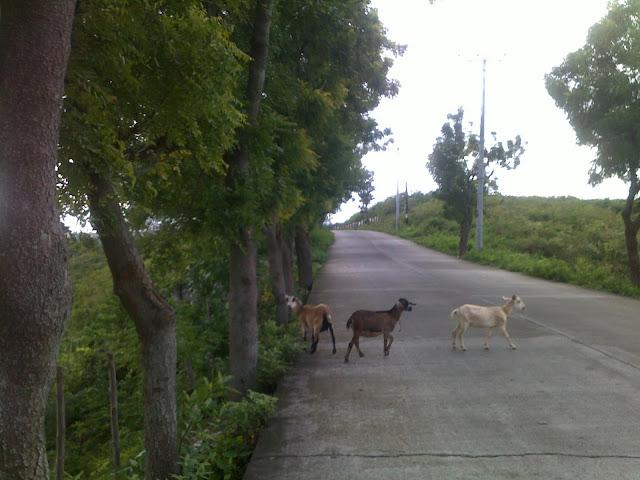 goats, consolacion, cebu