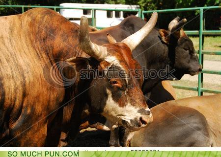 photo of some bulls...stock photo