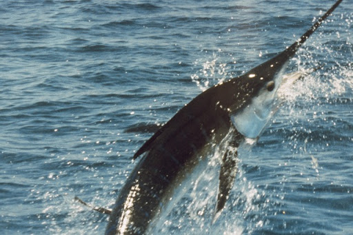 Marlin fighting
