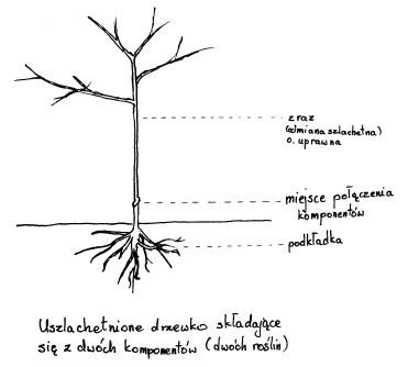 Drzewko szlachetne schemat