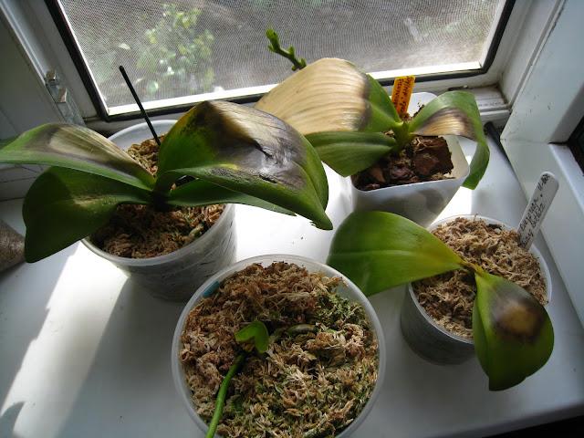 Реанимация орхидей. - Страница 2 IMG_1331