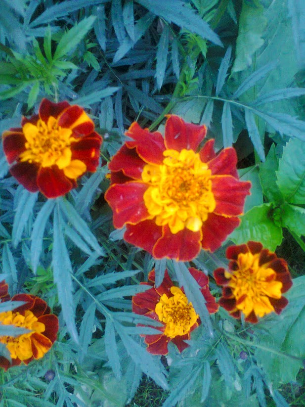 Beautiful Marigold flowers