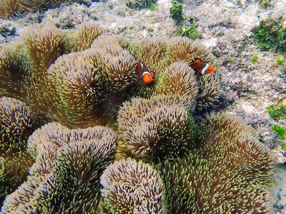 Amphiprion ocellaris (Ocellaris Clownfish) with Stichodactyla gigantea (Giant Carpet Anemone), Miniloc Island Resort Reef, Palawan, Philippines.