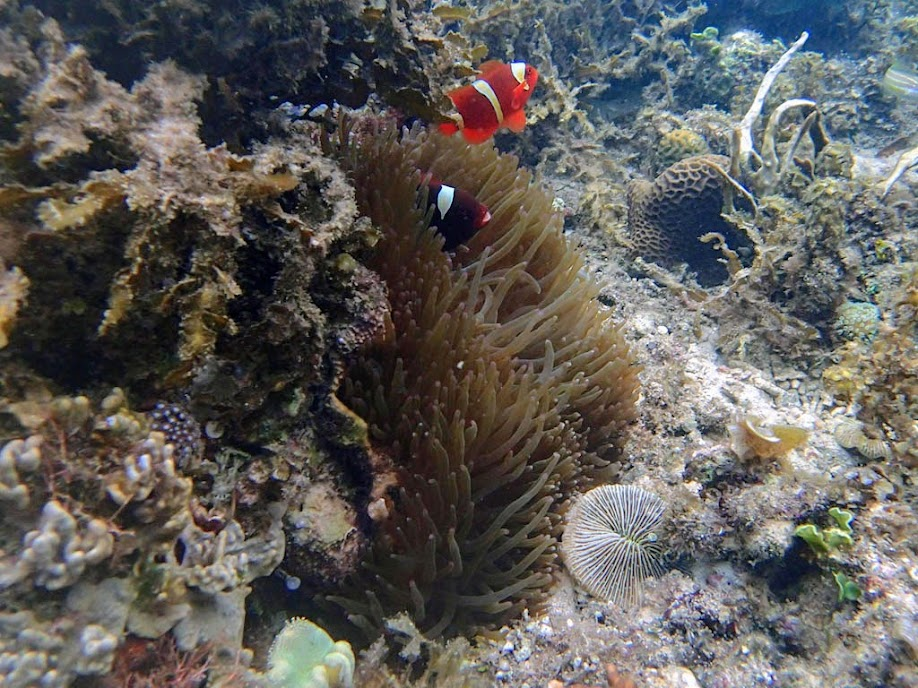Premnas biaculeatus (Maroon Clownfish) with Entacmaea quadricolor (Bubble Anemone), Lusong Island, Coral Garden Reef, Palawan, Philippines.