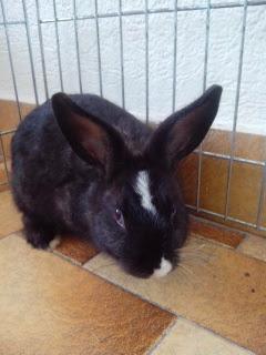 Pepper, lapin noir et blanc-[adopté] 557183Pepper