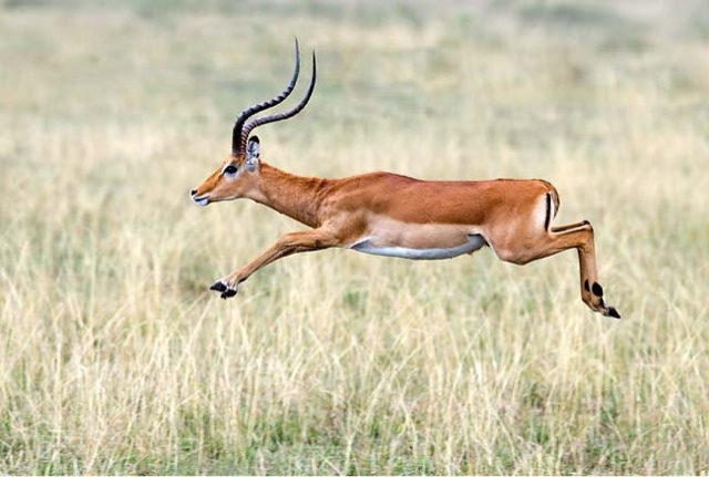A Faith Lesson from the African Impala | pastorlan.com