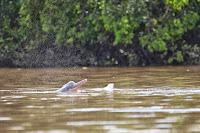 Sladkovodni delfini