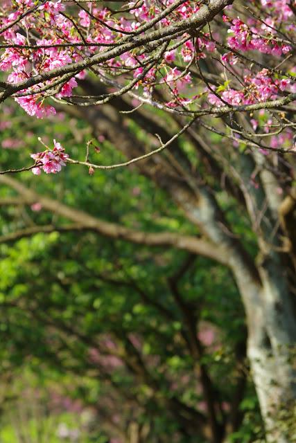陽明山 - 賞花