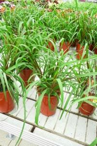 Penisetum purpurowe Vertigo Pennnisetum purpureum Vertigo