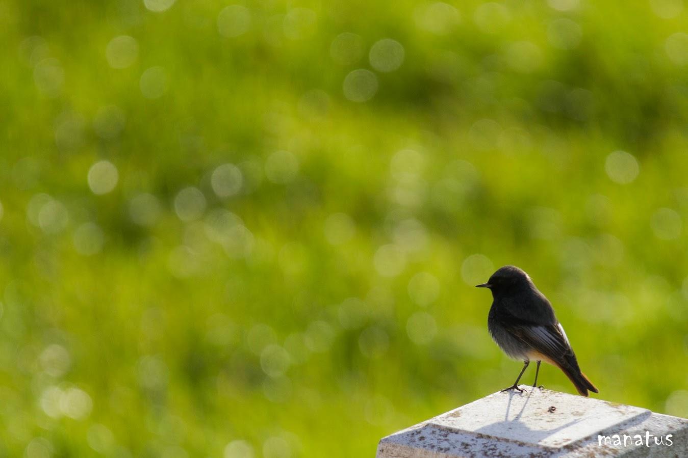 manatus foto blog pájaro