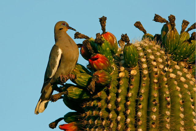 White-winged Dove on Saguaro