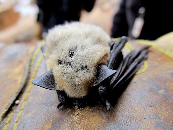 Dead bat that was near the dead bird