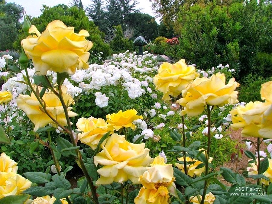 Сад Роз возле Кнессета. Грузинские паломники в Иерусалиме. Гид в Иерусалиме Светлана Фиалкова.