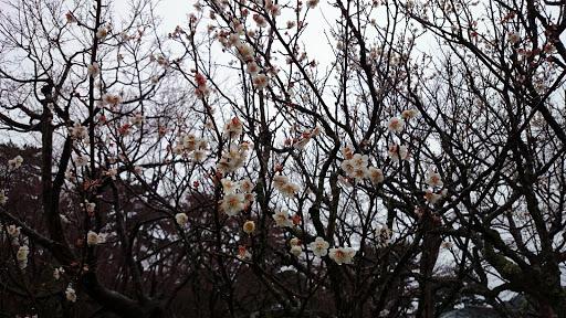 [写真]梅の花はぼちぼち