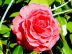 鮮紅色 千重咲き 大輪