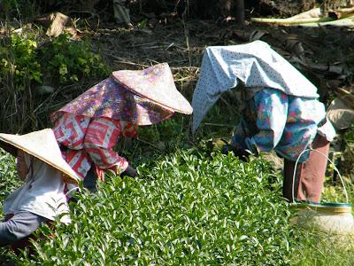 凍頂烏龍茶 採收