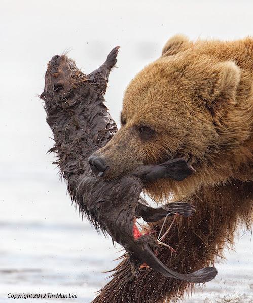 Urso pardo vs Urso polar 251477