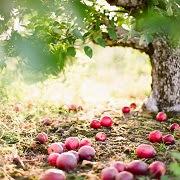 к чему снится собирать яблок