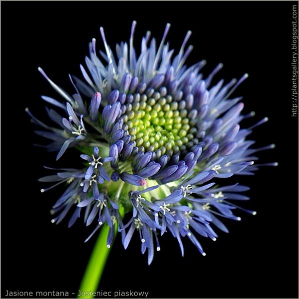 Jasione montana flower - Jasieniec piaskowy kwiat