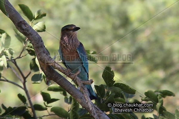 Indian Roller [Coracias Benghalensis] thinking about something