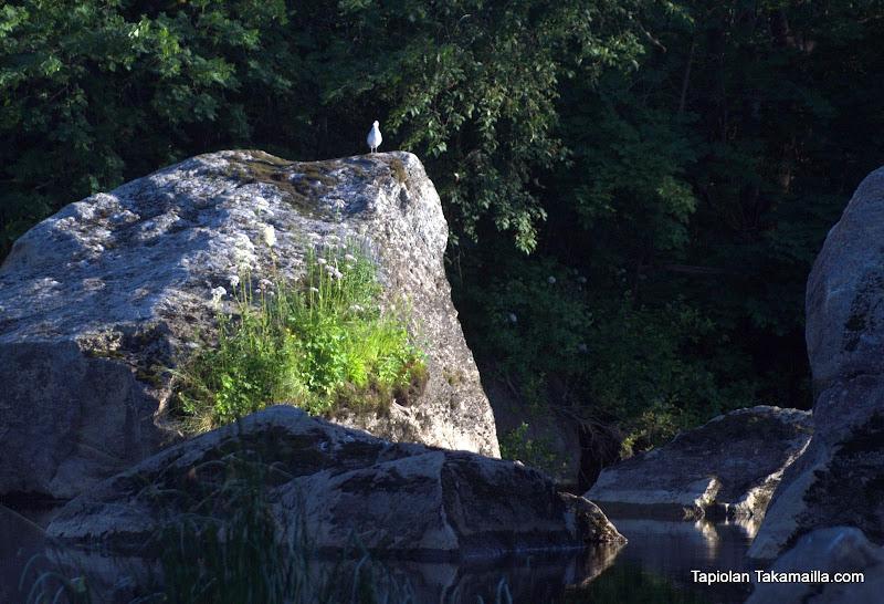 Lokki kalliolla