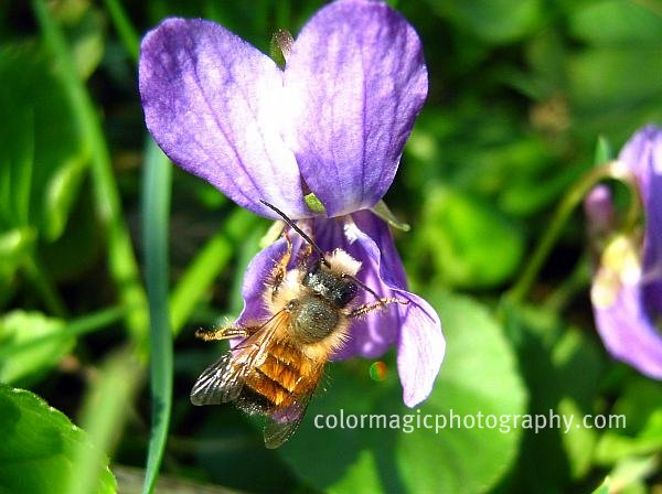 Bee on sweet violet