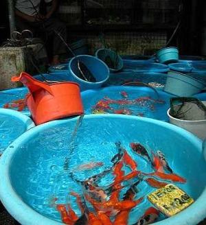Ornamental fish aquarium how to make money from an for Ornamental fish tank