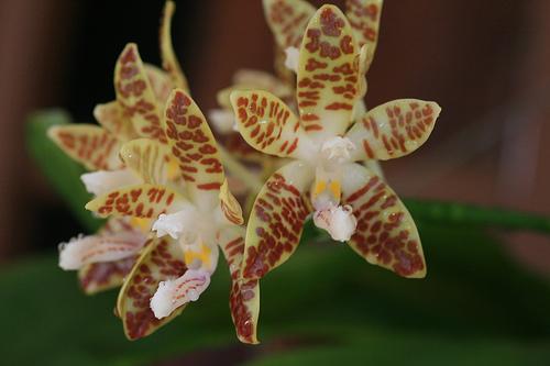 Растения из Тюмени. Краткий обзор - Страница 7 Phalaenopsis_sumatrana