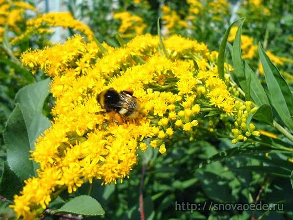 желтые цветы и шмель