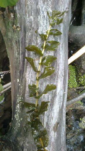 Rdestnica przeszyta (Potamogeton perfoliatus)