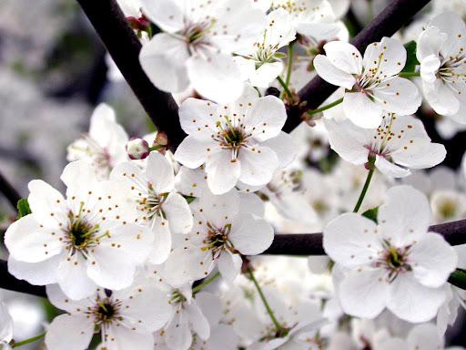 White_flowers_wallpaper.jpg