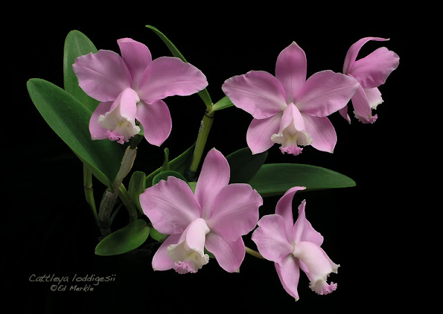 Растения из Тюмени. Краткий обзор - Страница 2 C_loddigesii1A