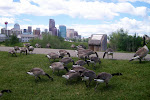 geese run free in calgary...they block the path like cows when you're bike riding