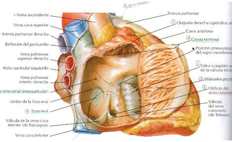 enfermeriauq: Configuración interna de los Atrios del Corazón por ...