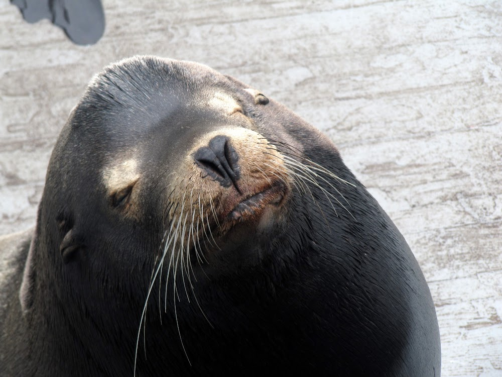 Sea lion on the pier in Santa Cruz