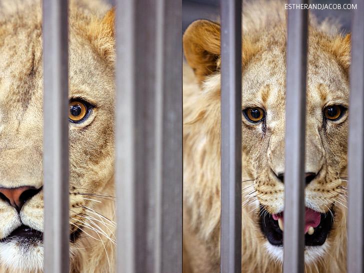 Lion Habitat Ranch Las Vegas with MGM Grand Lions.