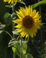 фото, foto, подсолнух, sunflower,