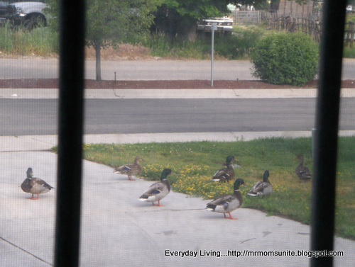 Photo of seven ducks on our driveway