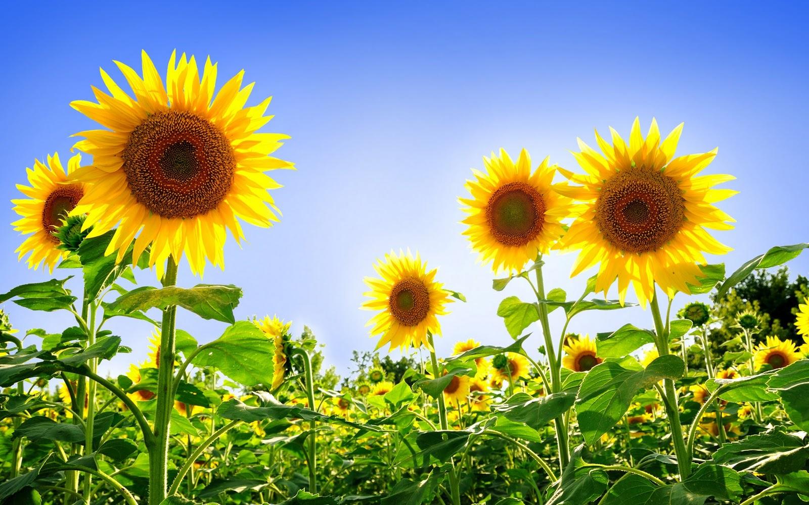 Sun Flowers HD Wallpaper Free Desktop