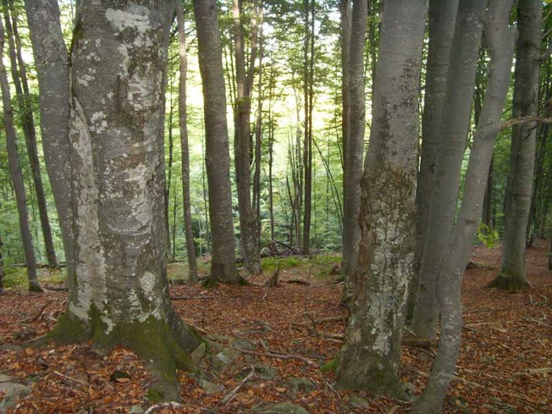 Буковый лес и смереки Карпат.