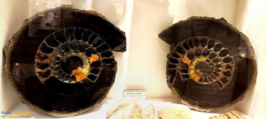 Muzeum Minerałów w Świętej Katarzynie - skamieniały amonit