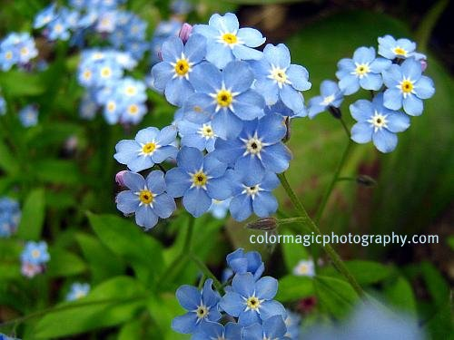 Forget-me-not-blue Myosotis picture